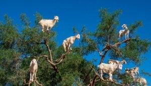 Pourquoi les chèvres grimpent aux arbres au Maroc ?
