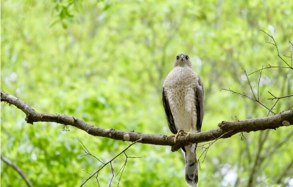 Épervier brun : habitat, caractéristiques et répartition