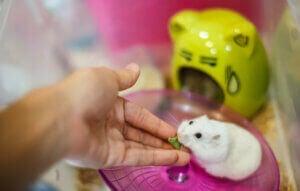 Une main qui nourrit un hamster.