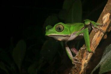 Grenouilles singes : habitat et caractéristiques