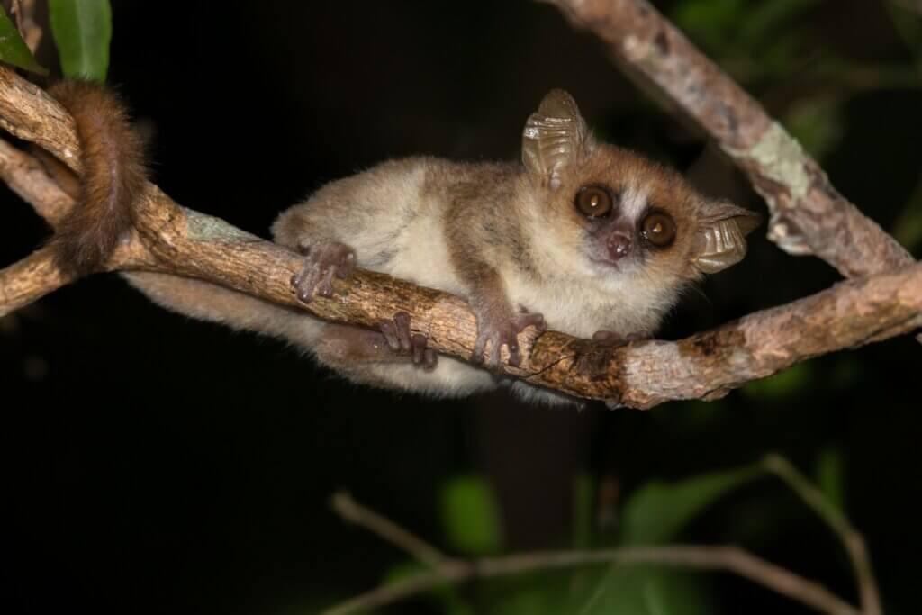 Lémurien gris de la souris : caractéristiques, habitat et reproduction