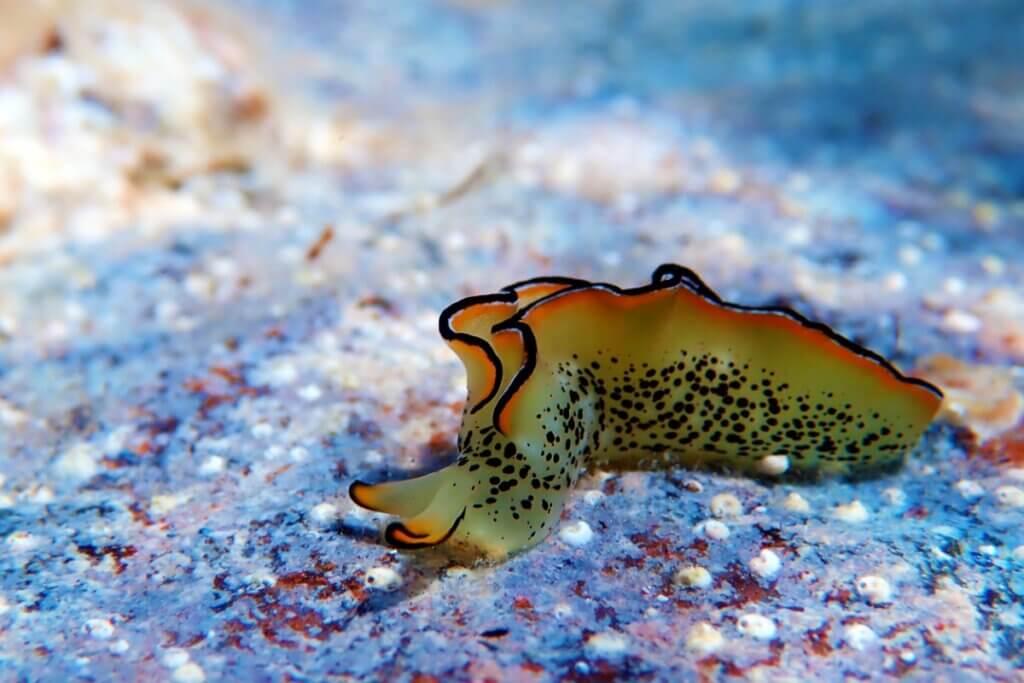 Certaines limaces de mer peuvent régénérer leur corps après avoir perdu la tête
