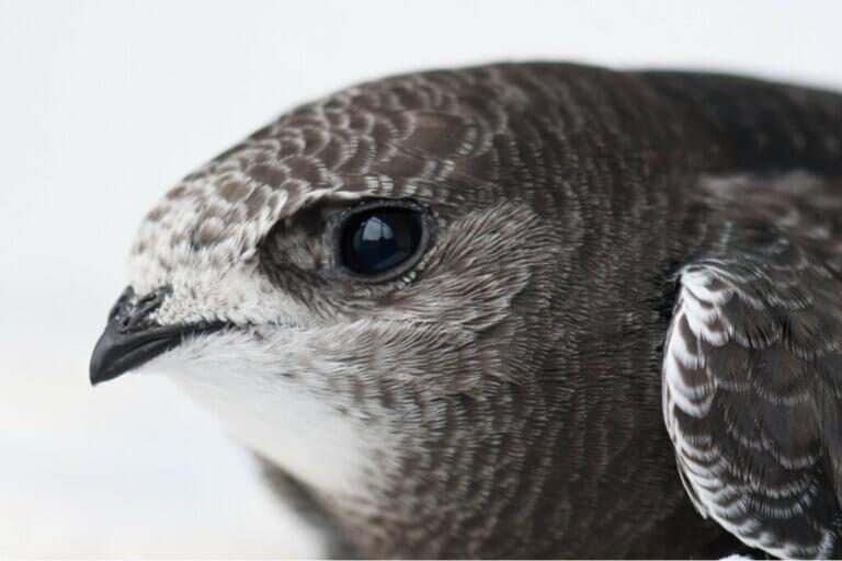 Le martinet noir est l'oiseau de l'année 2021