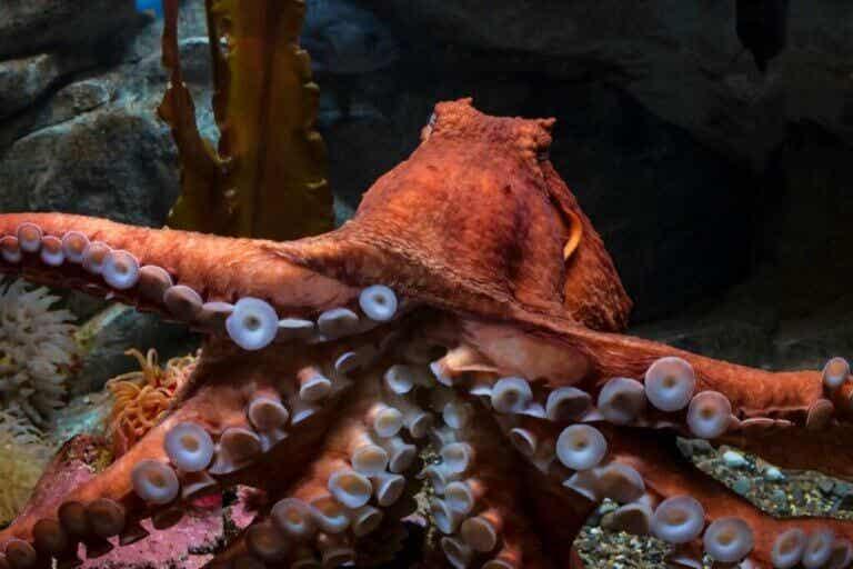 Pieuvre géante du Pacifique : caractéristiques et habitat