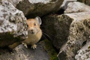 Un pika caché entre des rochers.