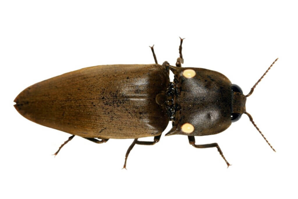 Pyrophorus, des scarabées bioluminescents