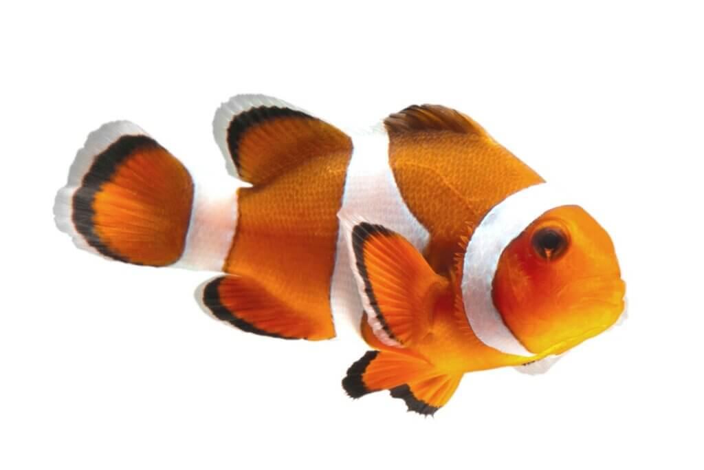 Les soins du poisson-clown