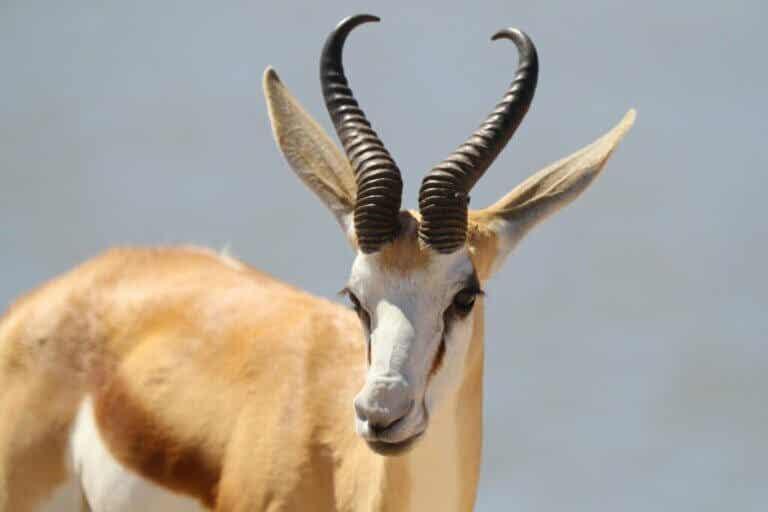Le springbok : caractéristiques, répartition et habitat