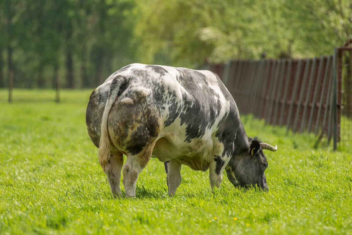 Une vache blanc bleu belge.