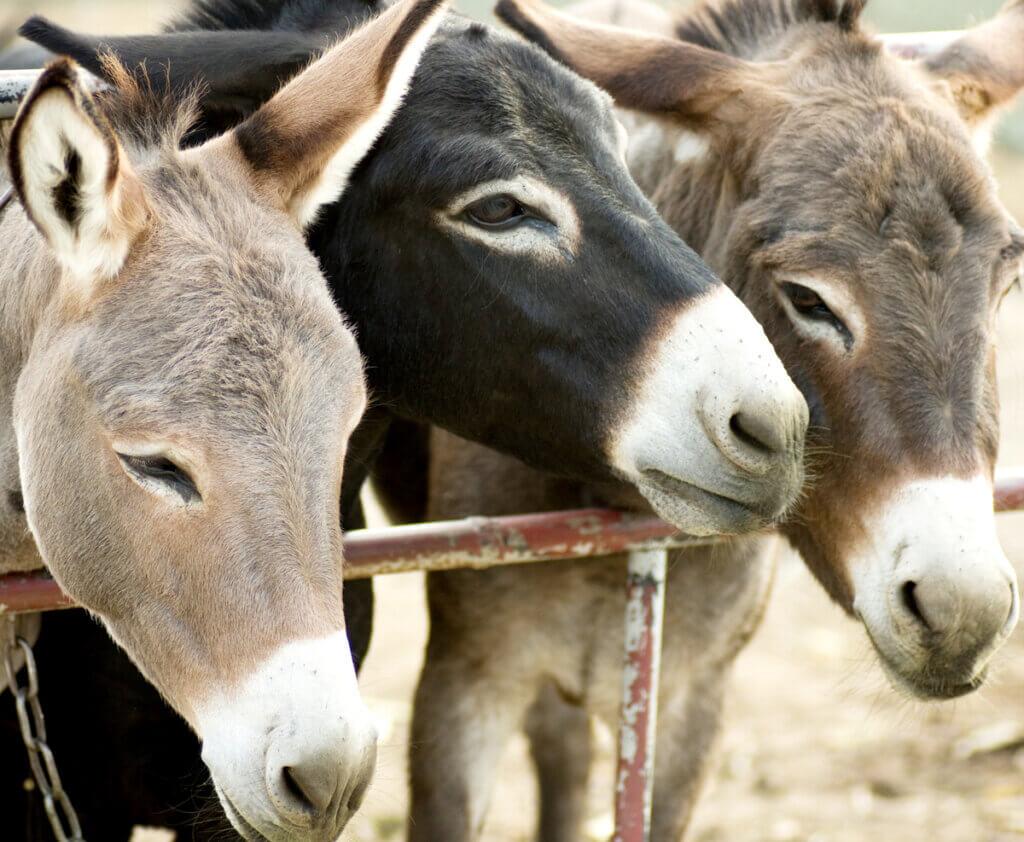 Burrolandia : un refuge pour les ânes maltraités
