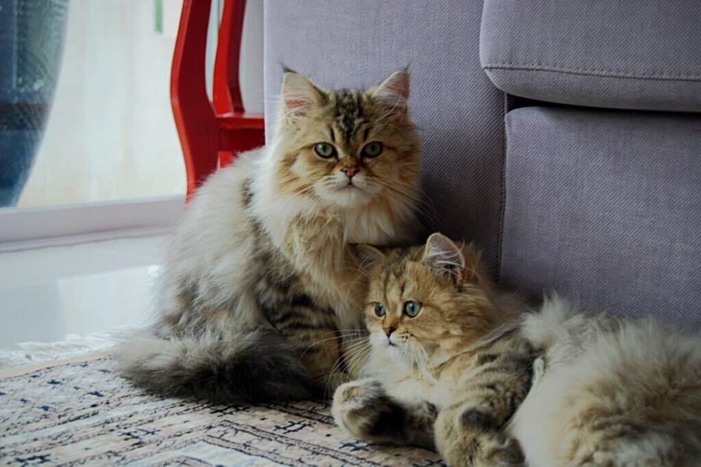 Comment identifier un chat mâle d'une femelle ?
