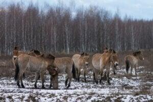 Les chevaux de Tchernobyl : comment survivent-ils ?