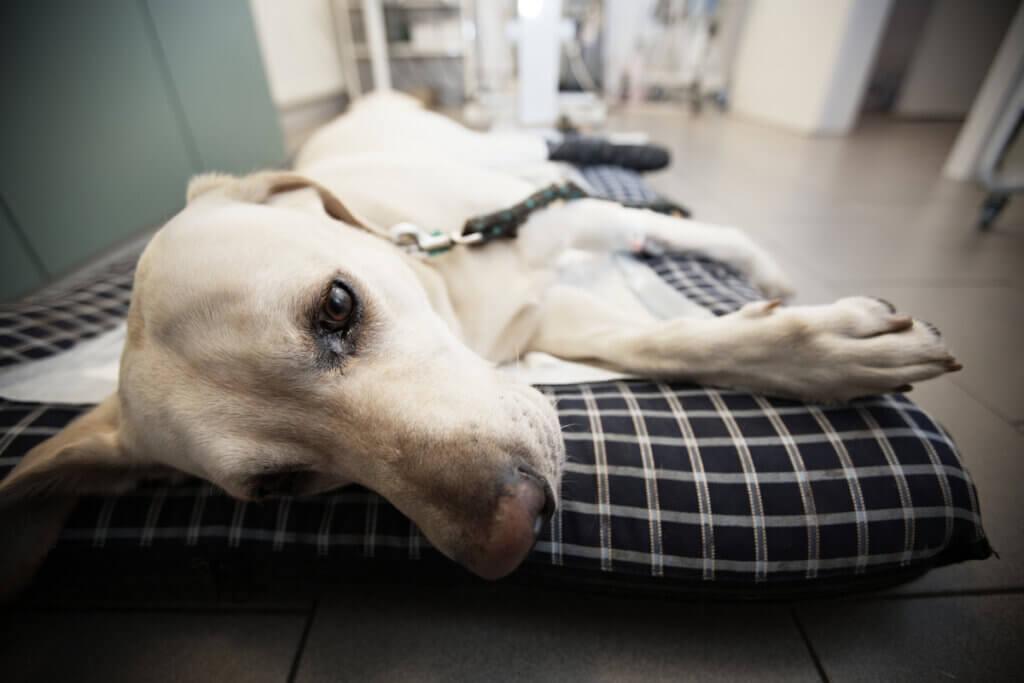 Hernie périnéale chez le chien : symptômes, traitements et soins