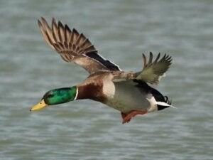 Les canards peuvent-ils voler ?