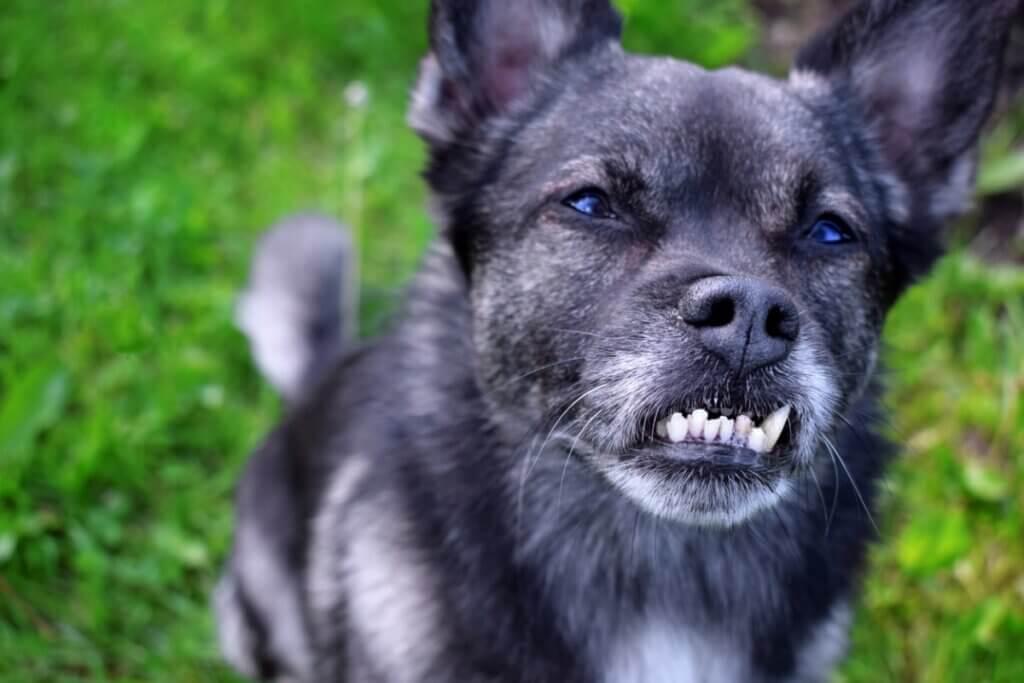 Malocclusion dentaire chez le chien : causes, conséquences et traitements