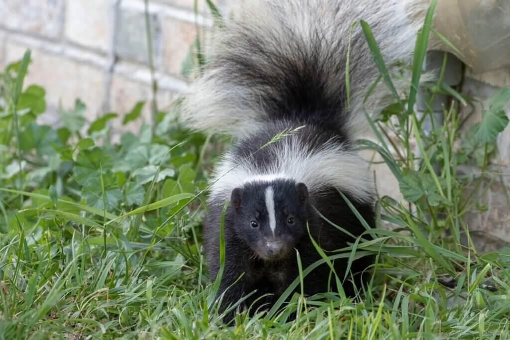 Comment neutraliser la mauvaise odeur de la moufette ?