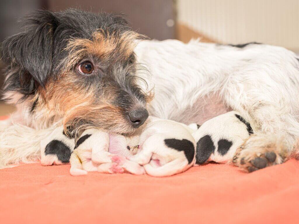 Nourrir une chienne après l'accouchement