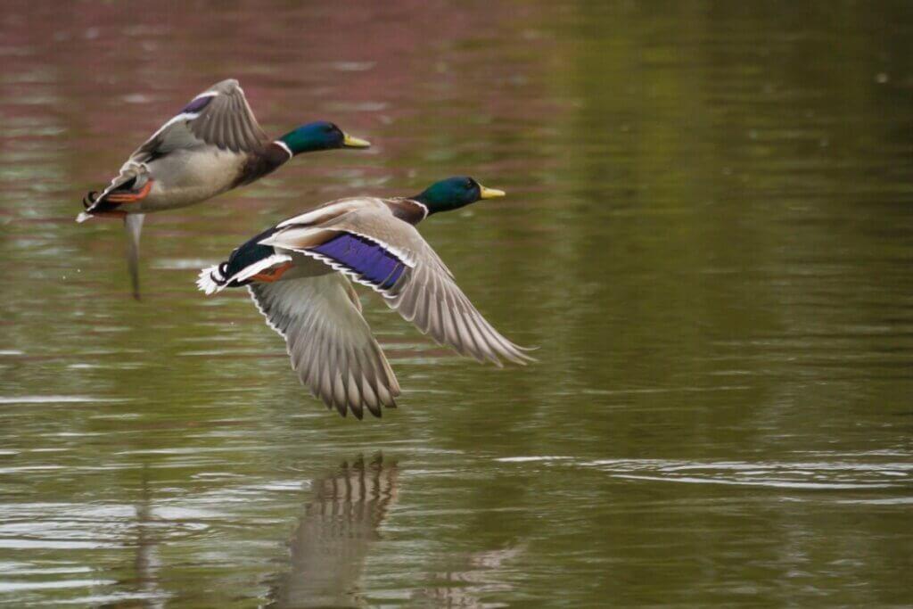 5 différences entre les canards et les oies