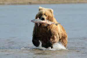 Pourquoi les ours aiment-ils le saumon ?