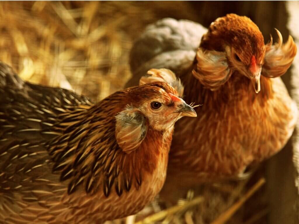 Poule Araucana : reproduction, alimentation et soins