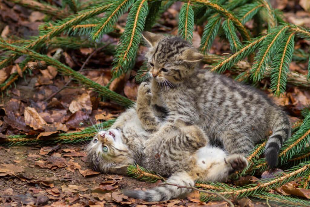Les races de chats avec le moins de maladies