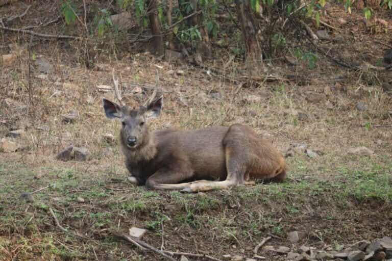 Sambar : le plus grand des cerfs de l'Est
