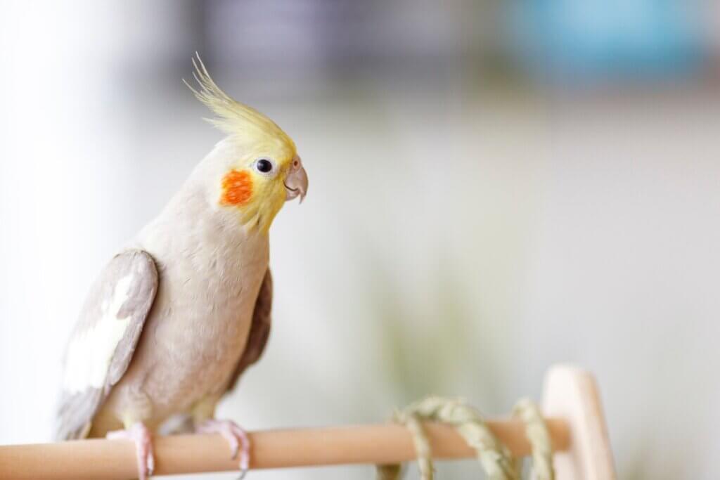 Les perruches nymphiques peuvent-elles parler ?