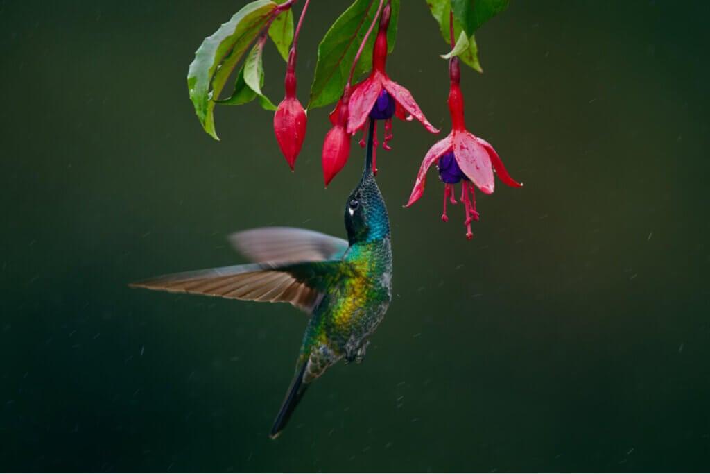 Pourquoi les ailes du colibri battent-elles si vite ?