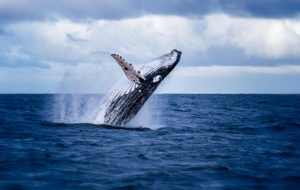 Baleine 52 herts : la baleine la plus solitaire au monde