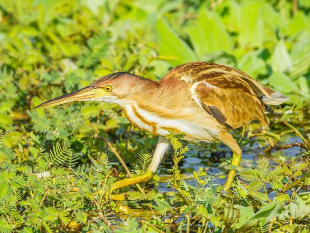 Blongios nain : habitat et caractéristiques