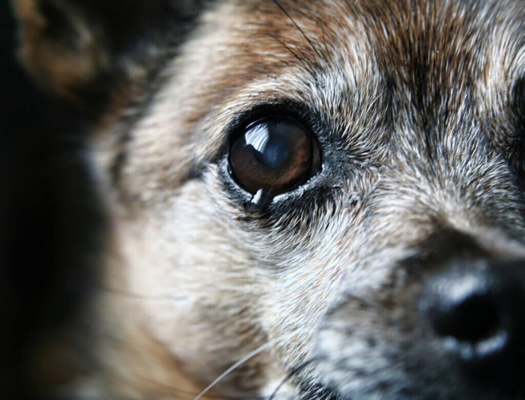 Pourquoi mon chien n'arrête-t-il pas de pleurer ?