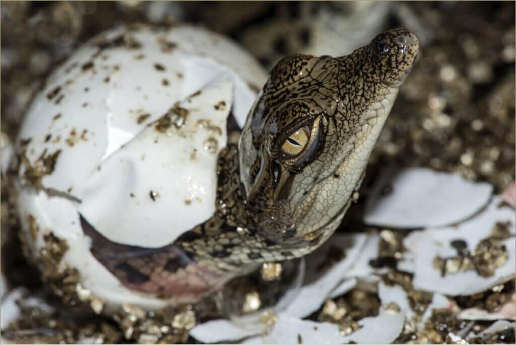 Comment les crocodiles se reproduisent-ils ?