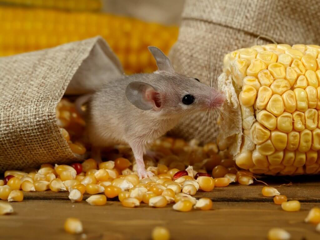4 conséquences de l'invasion des souris en Australie