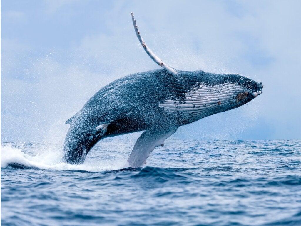 Comment les baleines respirent-elles ?