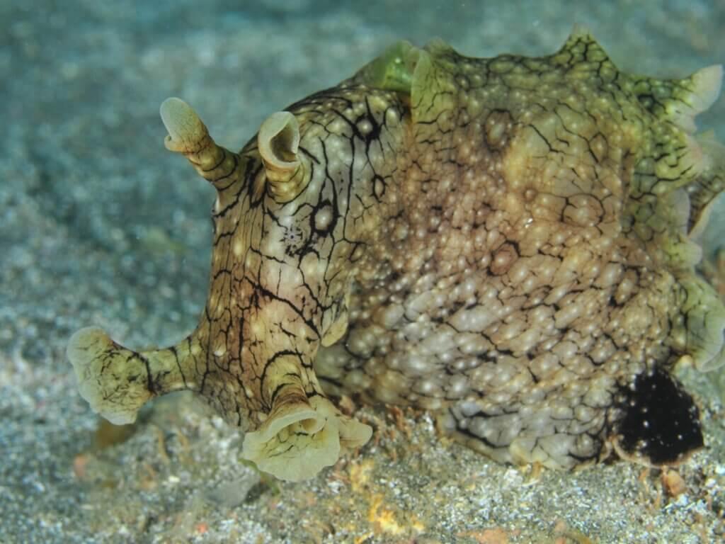 Lièvre de mer : habitat et caractéristiques