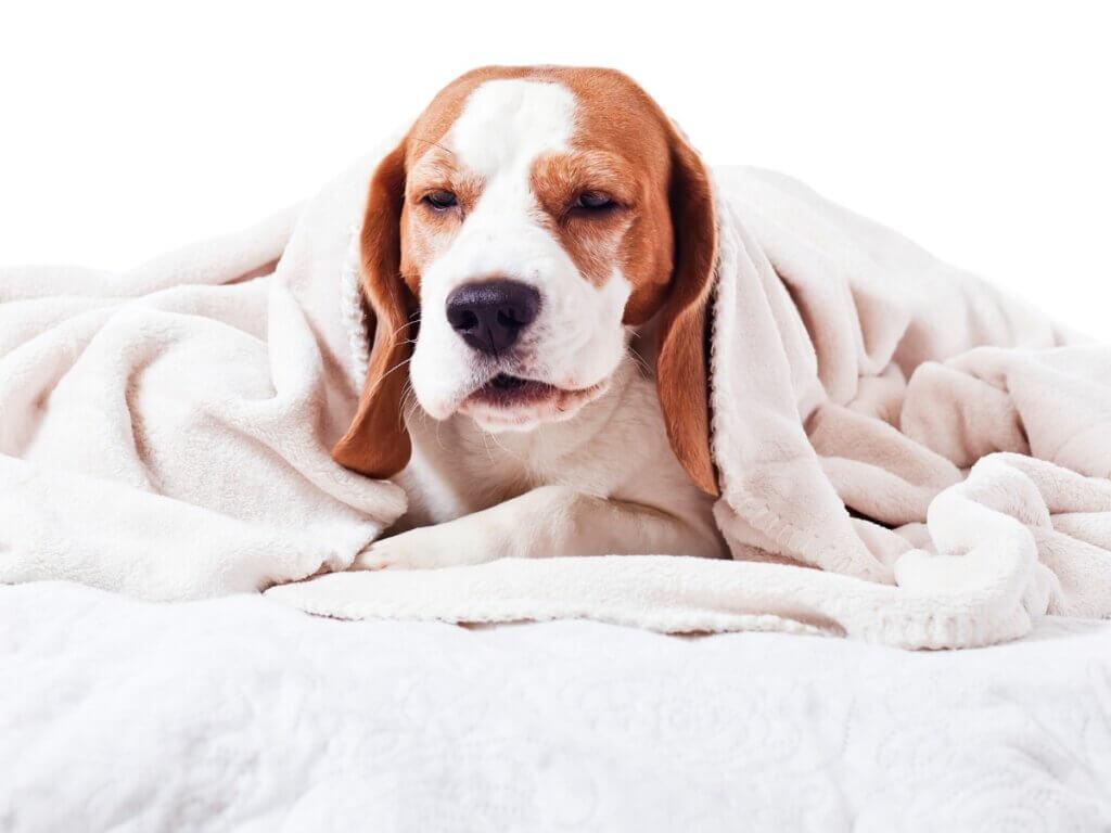 Pharyngite chez le chien : tout ce qu'il faut savoir
