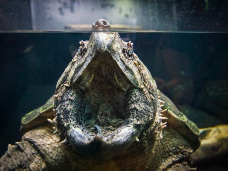 Tortue alligator : habitat et caractéristiques