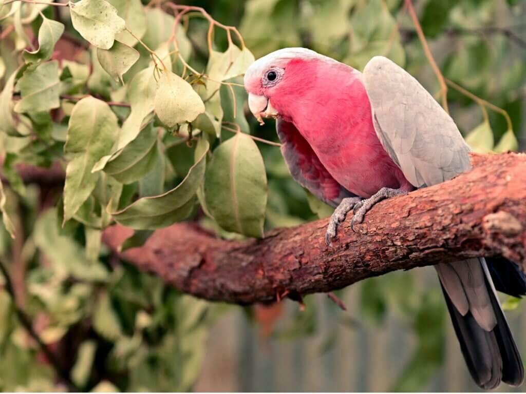 Cacatoès rosalbin : habitat et caractéristiques