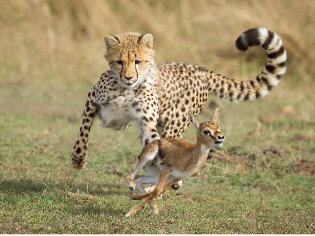 Le comportement du guépard
