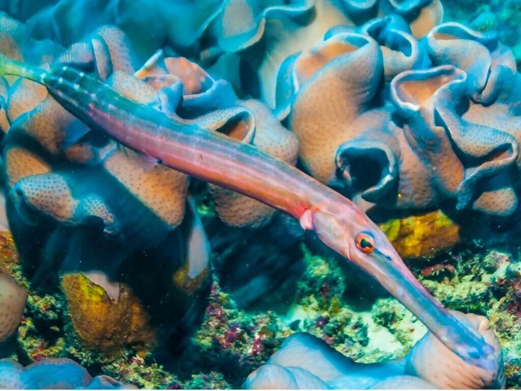 Poisson-trompette : habitat et caractéristiques