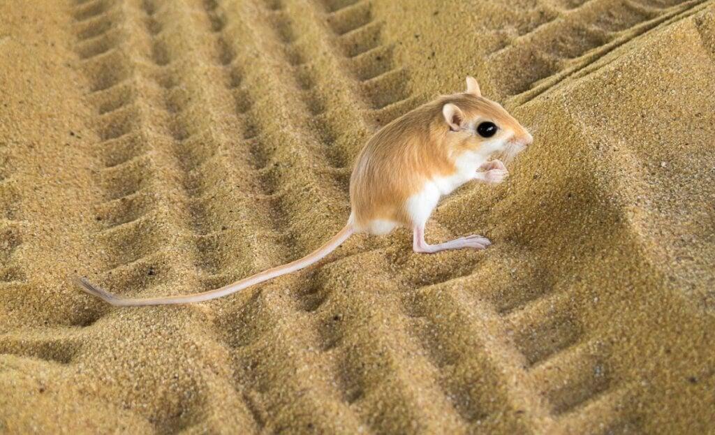 Rat-kangourou : habitat et caractéristiques