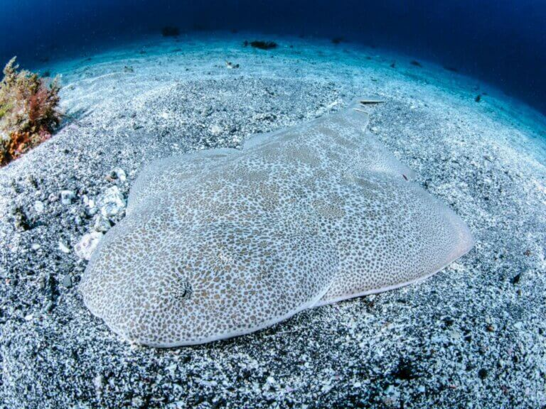 Requin-ange : habitat et caractéristiques