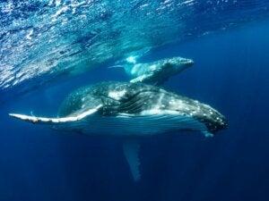 Baleine à bosse : habitat, caractéristiques et comportement