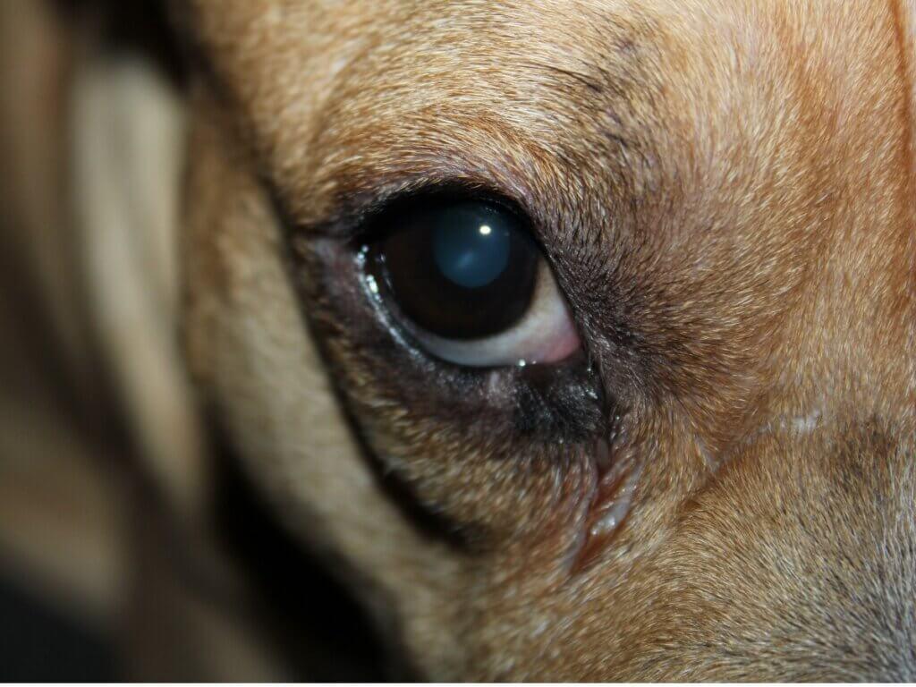 Mon chien a un oeil rouge et gonflé : 7 causes possibles