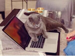 Pourquoi mon chat est-il attiré par l'ordinateur ?