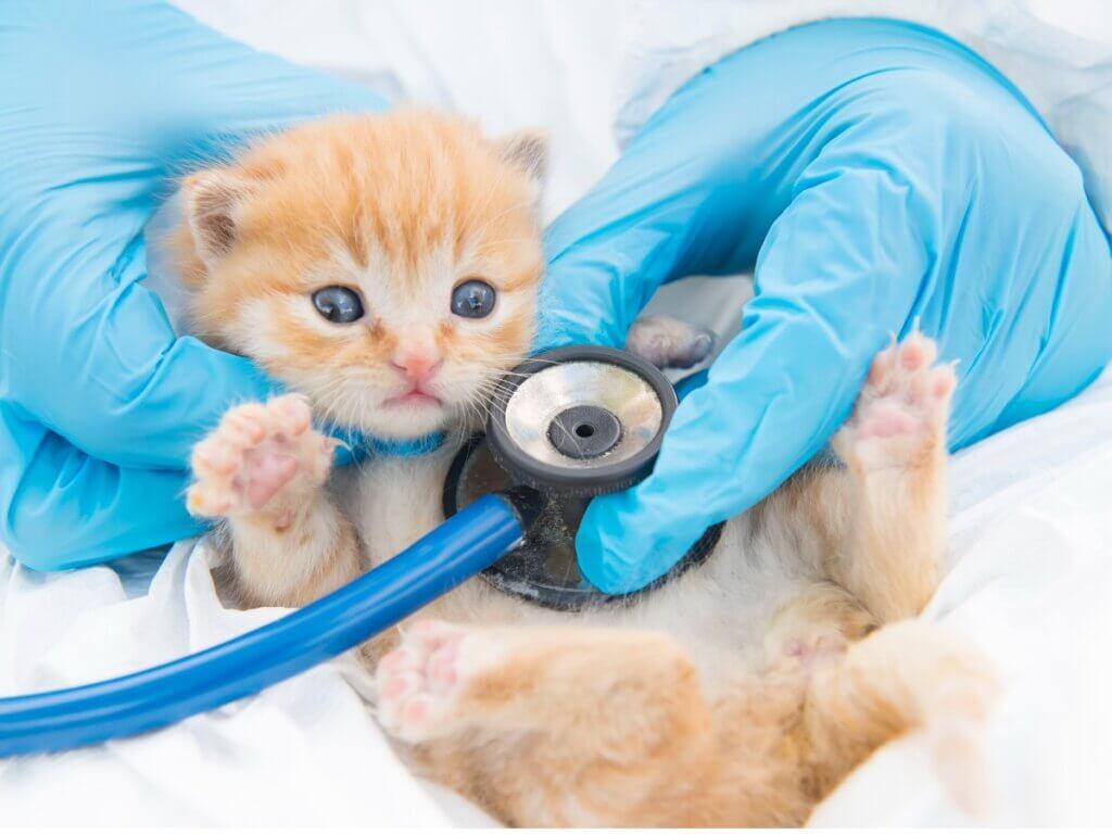 Giardiose chez le chat : symptômes, infection et traitements