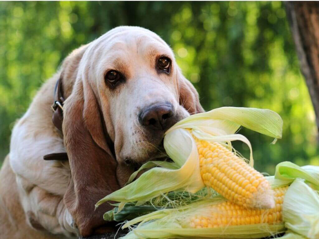 Les chiens peuvent-ils manger du maïs ?