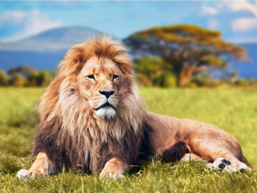 Le comportement des lions