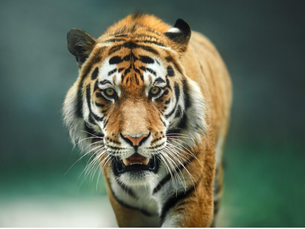 Le comportement du tigre