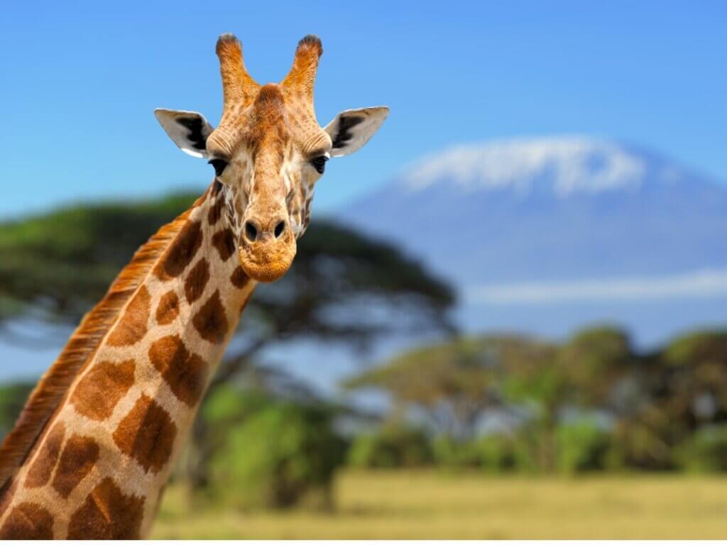 Le comportement de la girafe